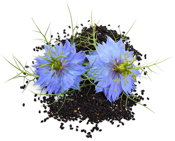 Kvet A Semená čierneho Kmínu